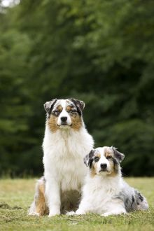 Australian Sheepdog / Shepherd Dogs