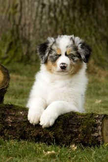 Australian Sheepdog / Shepherd puppy