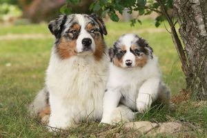 Australian Sheepdogs / Shepherd Dogs