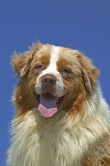 Australian Shepherd Dog - close-up of head