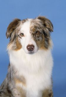 AUSTRALIAN SHEPHERD DOG - HEAD