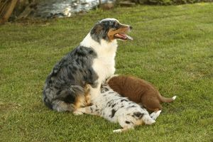 Australian Shepherd Dog - with two puppies suckling of different colours.