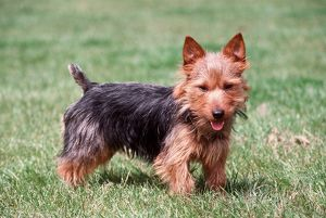Australian Terrier DOG - side view