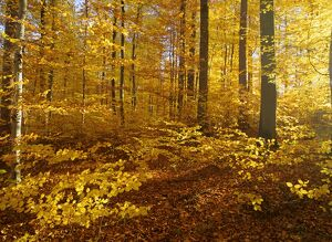 Autumn forest - colourful foliage in beech forest