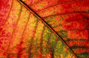 Autumn leaf - Underside of leaf