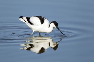 Avocet - feeding