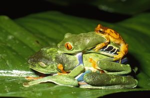 AW-6115 TREEFROGS / Splendid leaf frog - two mating plus another