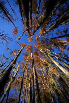 Bald Cypress Trees - in swamp, Autumn.