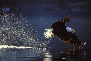 Bald Eagle - In flight, catching fish