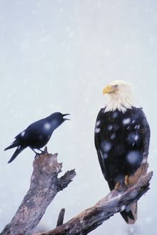 Bald Eagle - Being harassed by crow during winter snowstorm