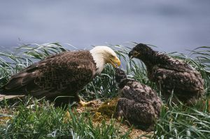 Bald EAGLE at nest, with young
