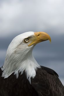 Bald Eagle portrait and stormy sky