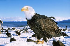 BALD EAGLES - close-up in snow, standing in foreground, many Bald Eagles in background