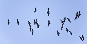 Bald Ibis - flock in flight