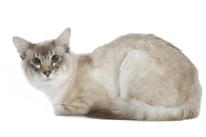 Balinese Cat - Blue silver tabby point