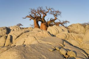 Baobab Tree - In the early morning at the isolated Kubu Island