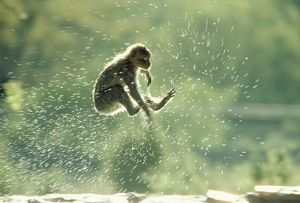 Barbary Macaque / Barbary Ape / Rock Ape - leaping through water