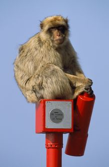 Barbary Macaque / Barbary Ape / Rock Ape - sitting on viewing telescope for tourists