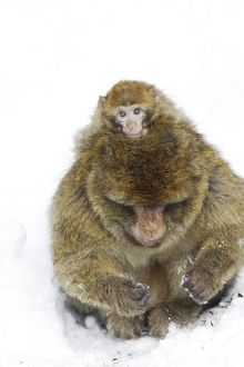 Barbary Macaque / Barbary Ape / Rock Ape - adult and baby