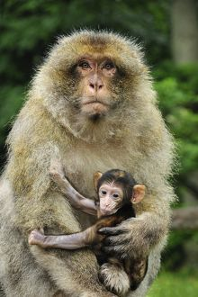 Barbary Macaque / Common Macaque - with baby
