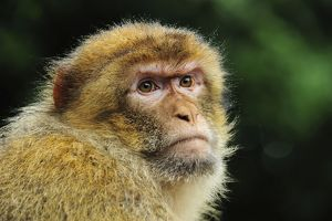 Barbary Macaque / Common Macaque - portrait