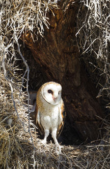 Barn Owl - female at the entrance of its nest