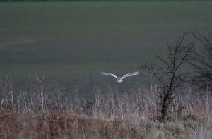 Barn Owl - Hunting in daylight on bracon bank