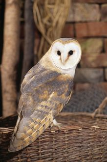 Barn Owl - perched on basket