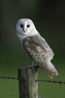Barn Owl - Sitting on post, with moon in background