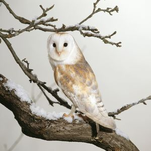 Barn Owl - on snowy branch