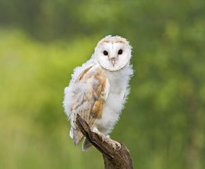 Barn owl - youngster on branch in meadow