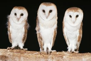 BARN OWLS - x three in a line