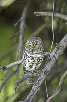 Barred Owl - Sitting on branch