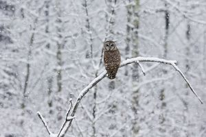 Barred Owl - in winter.