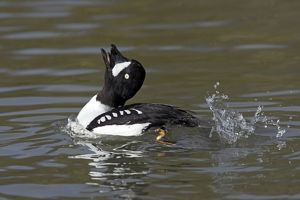 Barrow's Goldeneye - Male Displaying