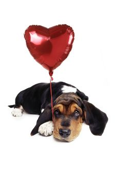 Basset Hound Dog - with heart shaped balloon