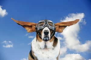 Basset hound Dog - wearing goggles with ears out.