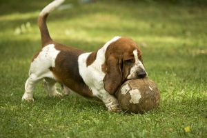 Basset Hound - playing with football