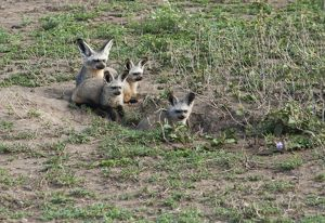 Bat-eared Fox - family in den