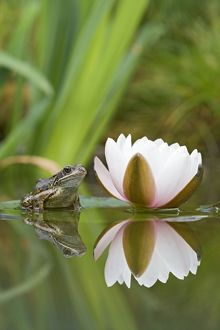 BB-1302 Common frog - on lily pad with reflection