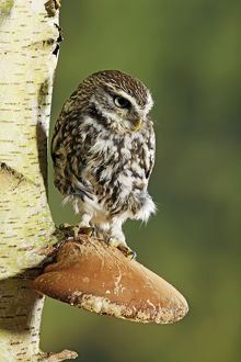 BB-1674 Little owl - perched on fungus