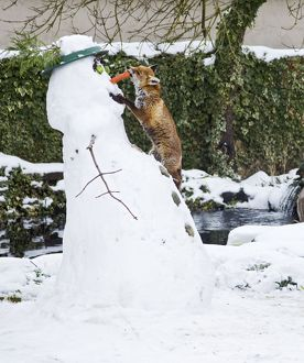 BB-2937Red Fox - stealing snowman's carrot nose in winter snow - UK17301
