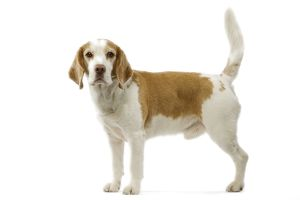 Beagle dog - male standing side view