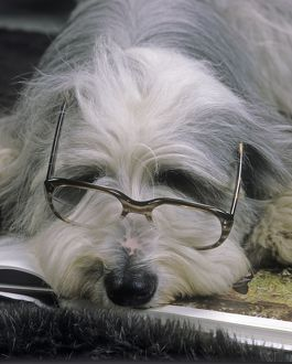 Bearded Collie Dog - Lying down asleep wearing spectacles