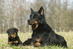 Beauceron Dog - Adult with puppy
