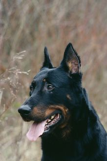 Beauceron DOG - close-up of head, alert