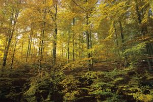 Beech Forest - in autumn colour