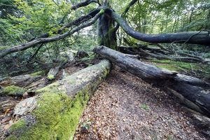 Beech Tree - Ancient Forest in early autumn
