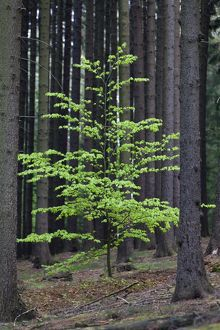 Beech Tree - sapling standing amongst fir tree monoculture