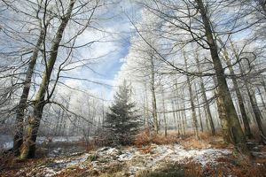 Beech Woodland - covered with frost in winter